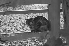 Today's Cat@2016-11-17 (masatsu) Tags: cat thebiggestgroupwithonlycats catspotting pentax mx1 bw