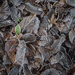50/52 - Hope (Jérôme Doutaz) Tags: autumn plant ep5 leaves 52project 17mm deadleaves blackandwhite olympus frozen