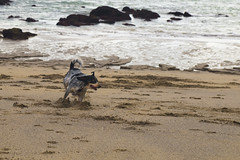 Coc (PrimiFer) Tags: coc playa castro urdiales ostende correr mar perro dog