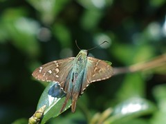 Long Tailed Skipper (bamboosage) Tags: helios 402 1585 preset m42 russia