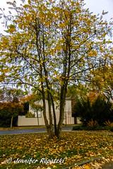 Yellow leaf on tree (Bernsteindrache7) Tags: autumn panasonic lumix landscape park outdoor light leaf garden germany grab flora fauna tree nrw dsseldorf yellow