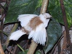 Society Finch, Lonchura domestica (24) (Herman Giethoorn) Tags: societyfinch finch songbird bird