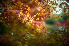 Transmigration (moaan) Tags: kobe hyogo japan jp autumn november autumnleaves autumncolors colorsofautumn momiji japanesemaple sunlight pouringsunlight bokeh dof utata 2016 leica mp leicamp type240 noctilux 50mm f10 leicanoctilux50mmf10