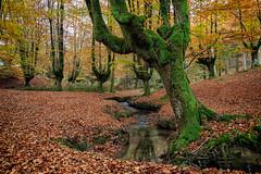 Hayedo de Otzarreta-048 (Juan Lpez fotografa) Tags: arboles bosque espaa euskadi naturaleza otoo otzarreta paisaje paisvasco spain zeanuri forest landscape nature trees
