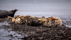 This is the Life (Augmented Reality Images (Getty Contributor)) Tags: animals canon coastline commonseals fur morayshire nature portgordon scotland sealife seals seaside seaweed water whiskers