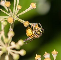 wasp on ivy 069__271 (Baffledmostly) Tags: brandonmarsh feeding ivyflowers wasp