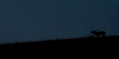 Un cri dans la nuit (Pito-pito) Tags: brame brameducerf cerf cerflaphe cervuselaphus animal animaux wild wildlife nature alpesmaritimes alpes montagne mountain mountains hill contrejour silhouette mercantour parcdumercantour parcnationaldumercantour nikon nikond750 nikkor tamron tamron150600 wow