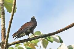 Buteo brachyurus (mazama973) Tags: birdbirdsaves oiseau accipitridae buteobrachyurus buseàqueuecourte shorttailedhawk