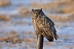 Great Horned Owl DSC_1867 (Ron Kube Photography) Tags: owl owls bird birds nature fauna ornithology raptor birdofprey alberta canada greathornedowl greathorned southernalberta nikon nikond7200 d7200 ronaldok bubovirginianus globalbirdtrekkers ronkubephotography