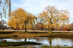 Winter willows (Peter Denton) Tags: bushypark teddington royalpark winter hiver willow tree pond water ©peterdenton westlondon england uk londonboroughofrichmond londonist