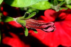 Petunia hybrida (LaDani74) Tags: flower macro closeup petunia hybrida bud blossom nature garden red petals