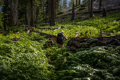 Fern walker (speedcenter2001) Tags: anseladamswilderness sierranevada sierra sierraphile highsierra california mountains wilderness hiking outdoor backpacking backcountry