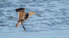 Short-billed Dowitcher (Bob Gunderson) Tags: baylands birds california dowitchers limnodromusgriseus northerncalifornia santaclaracounty shorebirds shortbilleddowitcher southbay