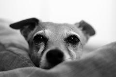 Ti ho visto (F@bio F.) Tags: animali domestico cane ritratto occhi sguardo primopiano biano nero monocromo monocromatico animals pets dog eyes black white bw monochrome grey portrait canon luci ombre lights shadow