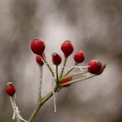 Guirlandes givrées (Gisou68Fr) Tags: givre frost guirlandes garlands cynorrhodons cynorrhodon rouge fruits hiver winter bokeh macro canoneos650d efs60mmf28macrousm
