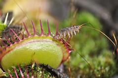 Dionaea 'fine tooth x red' (Laurent Moulin photographie) Tags: dionaea mascipula fine tooth x red capture mille pattes piege plante carnivore carnivorous plant catch scutigre scutigere macro dreams