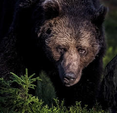 Ugly Beast (Jyrki Liikanen) Tags: naturephotography nature naturephoto bear bearphotography brownbear grizzly inthewoods morning morninglight wildnature wildlife wildlifephotography borealwildlifecenter fur bear´sface