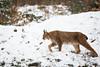 Walking throught the snow (Cloudtail the Snow Leopard) Tags: luchs winter schnee snow lynx katze cat feline animal tier säugetier mammal beutegreifer predator pinselohr wildpark bad mergentheim
