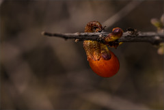 CAMBRÓN Lycium intricatum (FRUTO) (Salvador Ruiz Gómez) Tags: flowers españa flores andalucía spain flora almería parquenaturalcabodegataníjar florasilvestre