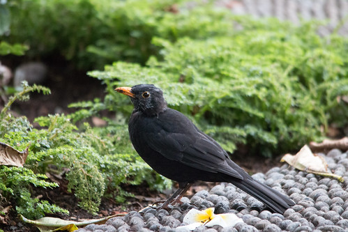 Male Common Blackbird - Funchal, Madeira, Portugal