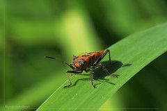 Do you know me (Manon van der Burg) Tags: macro bug insect spring lente raynox