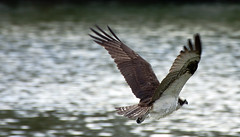 Osprey -- Adult (Pandion haliaetus); Fort Myers, FL, Lakes Regional Park [Lou Feltz] (deserttoad) Tags: park tree bird nature water nest florida raptor behavior osprey wildbird