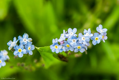 Wood Forget me not (Myosotis sylvatica) (BiteYourBum.Com Photography) Tags: wood uk blue england me unitedkingdom eastsussex canonef1740mmf4lusm beachyhead forget ipad eastborne myosotissylvatica canonefs60mmf28macrousm woodforgetmenot biteyourbum canoneos7d appleipad dawnandjim canonspeedlite430exii sigma50500mmf4563dgoshsm loweproprorunner350aw biteyourbumcom camranger
