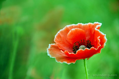 POPPY LOVE (ArvinderSP) Tags: red india flower green nature photography petals poppy newdelhi 558 2014 natureupclose arvindersingh nikond7000 arvindersp tamronaf18270mmf3563vcpzd arvinderspcom
