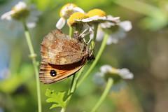 It's a jungle out there (Yersinia) Tags: uk england butterfly spider europe surrey lepidoptera asteraceae arthropoda crabspider gatekeeper feverfew arachnida araneae insecta tanacetumparthenium nymphalidae pyroniatithonus satyrinae asterales thomisidae yersinia pyronia