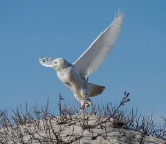 Snowy Owl (Collins93) Tags: bird beach animal island snowy sigma owl