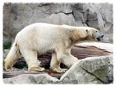 """Eisbr """"Valeska"""" (v8dub) Tags: bear white ice nature animal germany deutschland zoo am meer natur bio arctic polar tierpark eis weiss allemagne blanc bremerhaven valeska tier br ours eisbr polaire niedersachsen biodiversit"""