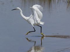 Garzetta /   Egretta garzetta  /   Little Egret (Alvaro Colombo) Tags: specanimal fantasticnature avianexcellence hganimalsonly