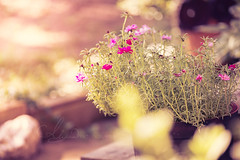 Garden (AlyKPhoto) Tags: pink light summer sun plant macro green nature yellow canon garden outside outdoors eos soft pretty bokeh country rustic relaxing sunny 100mm pot porch f28 6d