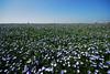 Blue Field (richwat2011) Tags: flax blue farmland windturbines kent eastsussex border loweragney romneymarsh view vista landscape littlecheynecourtwindfarm nikon d200 flickrific sigma 1020mm 1000views 2000views 3000views 4000views 5000views 6000views 7000views 8000views 9000views 10000views 11000views 10faves 25faves 50faves 75faves 100faves 10comments