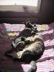 Sunny Spot (LionessLeesha) Tags: cats cat snuggle bed kitten nap sleep kittens