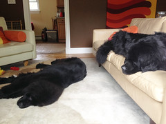 Chums in her usual spot, on the sofa. Leia stretching out on the rug. (Chum's mum) Tags: newfoundland blackdog chums leia newf chumley chummy terranova newfie gentlegiant blackpuppy 9monthsold newfy chumy mooncusser misschumley chumsy