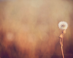 Alone in the Field (Danielle Denham-Skinner) Tags: sunset brown white flower country seed dandelion minimalist canon6d