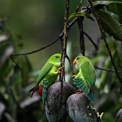 The mango wars (asranna) Tags: coorg virajpet westernghats hangingparrot vernalhangingparrot loricularisvernalis