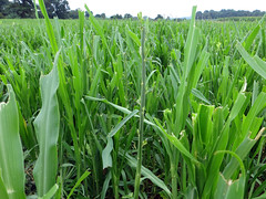 Leaves stripped (baalands) Tags: summer grass warm dwarf pearl annual millet legume hemp sunn sesaon