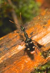 A ground beetle (Pasha Kirillov) Tags: southamerica ecuador coleoptera carabidae neotropical taxonomy:order=coleoptera geo:country=ecuador  bigalriverbiologicalreserve