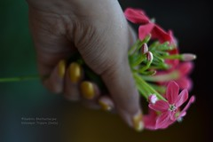 We live in a wonderful world that is full of beauty (Sanhita Bhattacharjee/সংহিতা ভট্) Tags: world pink india blur flower macro nature beauty wonderful that creativity photography is google dof hand live we full nikkor tripura flickrfriday phool nikkor50mm18g nikond3100 121click sanhitabhattacharjee shokherphotography