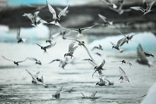 Seabirds Arctic terns