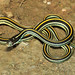 Orange-striped Ribbonsnake