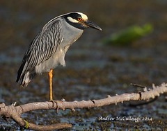Yellow-crowned Night Heron on Watch (Let there be light (A.J. McCullough)) Tags: heron birds texas h brazosbend yellowcrownednightheron texasbirds 18v5489