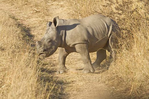 Young Rhino playing in the  road