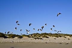 Parque Nacional de Doana (Espaa), Ecosistema de playa (ipomar47) Tags: park parque espaa black bird beach niger pentax negro huelva playa national ave comun tern nacional k5 ecosystem matalascaas doana chlidonias ecosistema sternidae gaviotin fumarel