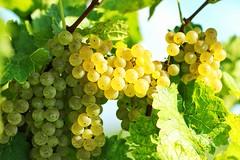 The Harvest, Augusta, MO. (IMG_3209) (JRCmoreno) Tags: green yellow wine harvest vineyards missouri grapes augusta grapeleaf