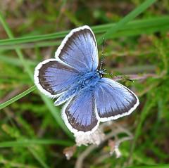 Silver-studded Blue. Plebejus argus. Male.