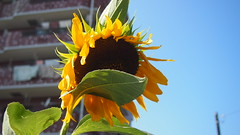 (hoshinosuna bega) Tags: summer was wind very sunflower end strong today the p9022142