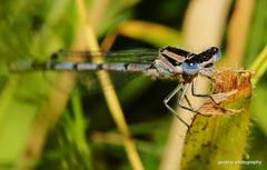 White-legged Damselfly - Platycnemis pennipes (1) (Geckoo76) Tags: insect damselfly whiteleggeddamselfly platycnemispennipes